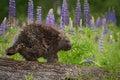 Porcupine Erethizon Dorsatum W...