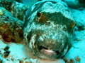 Porcupine Fish Royalty Free Stock Photo