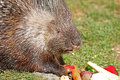 Porcupine indian crested sort hystrix indica Stock Photography
