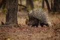 Porcupine In The Nature Habita...