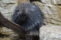 Porcupine Royalty Free Stock Photo