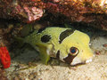 Porcupine puffer fish wild diodon holocanthus are widespread and can be found in the atlantic ocean pacific ocean and indian ocean Stock Photography