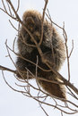 Porcupine sitting on a tree branch fleeing to safety in Stock Photos