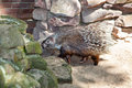 Porcupine on the stone backgroung Royalty Free Stock Photo
