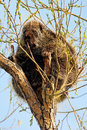 Porcupine in tree a sitting a calmly nibbling on the fresh spring growth southern alberta canada Stock Photography
