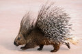 Porcupine walking a beautiful in a zoo Stock Photos