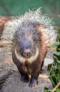 Porcupine is walking towards the camera Royalty Free Stock Photos