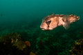 Porcupinefish in the reefs of the sea of cortez Stock Photography