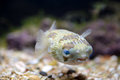 A porcupinefish swimming in aquarium small also commonly known as blowfish near the bottom tank Royalty Free Stock Photos