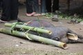 Pork tied to bamboo canes before being sacrificed in a funeral ceremony in tana toraja indonesia Stock Images