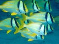Porkfish Royalty Free Stock Image