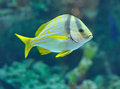 Porkfish grants fish from in saltwater aquarium Royalty Free Stock Photos