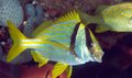 Porkfish Yawning Royalty Free Stock Photography