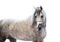 Portait of grey beautiful arabian stallion at white background Royalty Free Stock Photo