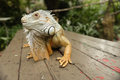 Portait of an iguana Royalty Free Stock Photo