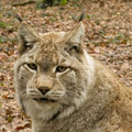 Portait of a lynx in park Stock Photo