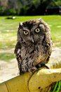 Portrail of a little Screech Owl Royalty Free Stock Photo