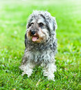 Portrait of active mini schnauzer Royalty Free Stock Photos