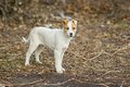 Portrait of adorable mixed breed puppy on first duty watching the enemies Royalty Free Stock Photos
