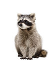 Portrait of adorable raccoon Royalty Free Stock Photo