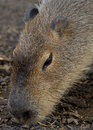 Portrait Of An Adult Capybara Stock Image