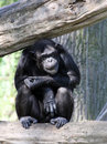 Portrait of a adult chimpanzee Stock Photography
