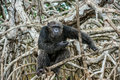 Portrait of an adult chimpanzee (Pan troglodytes)  in branches of mangrove trees. Royalty Free Stock Photo