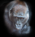 Portrait of an adult gorilla on a black background Stock Images