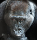 Portrait of an adult gorilla on a black background Royalty Free Stock Photography