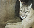 Portrait adult mountain lion its den Stock Photos