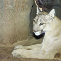 Portrait adult mountain lion its den Royalty Free Stock Image