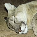 Portrait adult mountain lion sleeping its den Stock Image