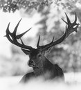 Portrait Of Adult Red Deer Stag Royalty Free Stock Photo