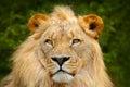 Portrait Of African Lion, Pant...