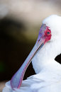 Portrait of an african spoonbill a coy showing strange beak Royalty Free Stock Photography