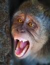 Portrait of aggressive monkey close up Royalty Free Stock Photo