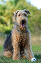 Portrait airedale terrier pedigreed show dog a of a pure breed female bitch who seems very happy to be sitting and posing for the Royalty Free Stock Images