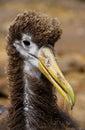 Portrait of an albatross chick. The Galapagos Islands. Birds. Ecuador. Royalty Free Stock Photo