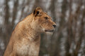 Portrait of an alert Barbary lioness Royalty Free Stock Photo