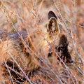 Portrait of alert watchful red fox, genus Vulpes Royalty Free Stock Images