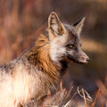 Portrait of alert watchful red fox, genus Vulpes Stock Images