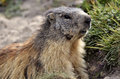 Portrait Alpine Marmot Stock Photos