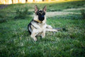 Portrait of alsatian dog brown and black german shepherd or sitting looking alert with ears pricked up in a field Royalty Free Stock Photos
