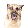 Portrait of alsatian dog isolated on white background Royalty Free Stock Photos