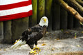 Portrait of a american eagle an and part the flag Royalty Free Stock Images