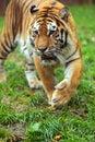 Portrait amur tiger spring Stock Images