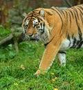 Portrait amur tiger spring Stock Image