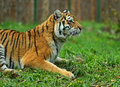 Portrait amur tiger spring Stock Photography