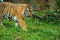 Portrait amur tiger spring Stock Photos