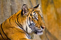 Portrait of amur tigers at chonburi thailand Stock Photo